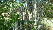 Stock Video Footage of Rustling Leaves Aspen Trees