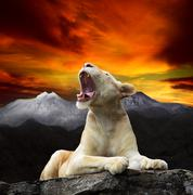 Young white lion,lioness lying and roar on mountain cliff Kuvituskuvat