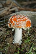 amanita muscaria - stock photo