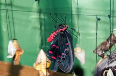 Transformation of the chrysalis to butterfly sailboat Stock Photos