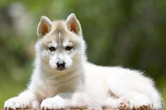 Siberian Husky puppy outdoors, 7 weeks old Stock Photos