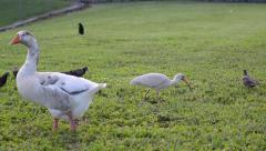 Birds doing social life during spring on the green grass white ibis (eudocimu Stock Footage