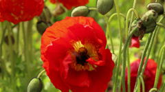 Poppies & the Bumblebee Stock Footage