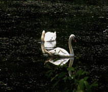 Two swans in a lake Stock Footage