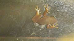 Cuban tree frog (osteopilus septentrionalis) hanging on a transparent dirty w Stock Footage