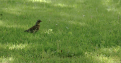 A song thrush on the grass 4k fs700 odyssey 7q Stock Footage