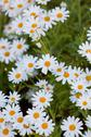 Stock Photo of blooming camomile flowers at flowerbed