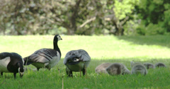 Four goose and the goslings 4k fs700 odyssey 7q Stock Footage