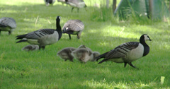 A mother goose and her goslings 4k fs700 odyssey 7q Stock Footage