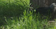 A black jackdaw hopping 4k fs700 odyssey 7q Stock Footage