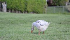 Snow goose (chen caerulescens) cleaning body Stock Footage