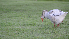 Snow goose (chen caerulescens) looking for food on the green grass Stock Footage
