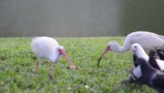 white ibis (eudocimus albus) and white rock pigeon (columba livia) looking fo - stock footage