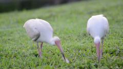 White ibis (eudocimus albus) eating from the green grass Stock Footage