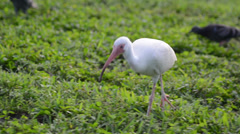 white ibis (eudocimus albus) looking for food on the green grass runs far fro - stock footage
