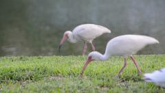 White ibis (eudocimus albus) research group doing the job from right to left Stock Footage