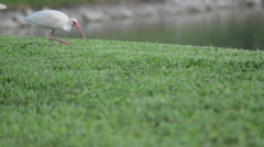 white ibis (eudocimus albus) searching for aliments on the horizontal green g - stock footage