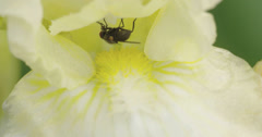 A pest fly on a flowers nectar 4k fs700 odyssey 7q Stock Footage