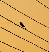 silhoutte of bird sitting on electrical wires - stock photo
