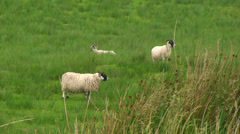 Three static sheep standing while chewing grass in their mouths - stock footage