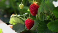 Stock Video Footage of Close up of a strawberries, homegrown ripe summer fruit, harvesting time