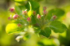 Apple blossom buds Stock Photos