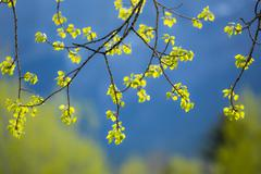 New aspen tree leaves Stock Photos