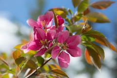 springtime apple blossoms - stock photo