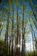 Springtime aspen trees Stock Photos