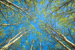 springtime forest canopy - stock photo