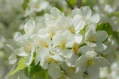 fresh springtime apple blossoms - stock photo