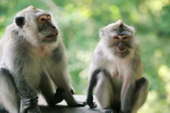 Two monkeys in the forest NTSC Stock Footage