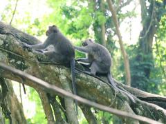 Monkeys on tree grooming in Ubud Monkey Forest NTSC Stock Footage