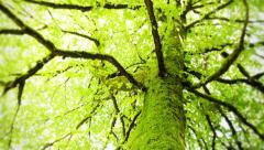 Mossy Tree Pan Up 2 Stock Footage