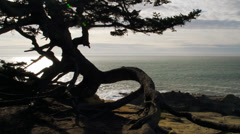 Gnarly tree on bluff overlooking ocean - stock footage