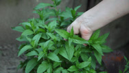 Stock Video Footage of Woman hands picking fresh mint from the garden, aromatic herb