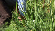 Stock Video Footage of Harvesting homegrown onion, a bunch of fresh onion, cultivation