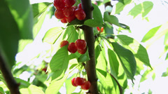 Stock Video Footage of Beautiful red ripe cherries on a branch, cherry tree, homegrown fruits harvest