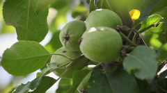 Bunche of raw green apples in orchard  Stock Footage