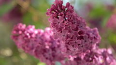 Lilac Blossoms on Tree Stock Footage