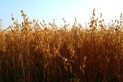 oat field - stock photo
