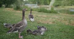 Pomeranian Goose family in St Jame's Park 4K Stock Footage