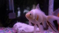 Albino Goldfish - stock photo