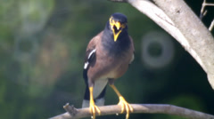 Common Myna in tree brunches. Stock Footage
