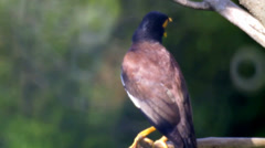 Common Myna. Stock Footage