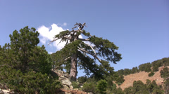Stock Video Footage of Crooked tree on slope in Troodos mountains northern Cyprus