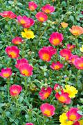 Common purslane flower Stock Photos