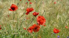 Wind in a poppy field wit rye Stock Footage