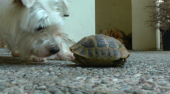 A cute westie dog smells a tortoise. Stock Footage