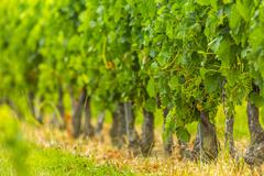 Grapes vines vineyard bordeaux france Stock Photos